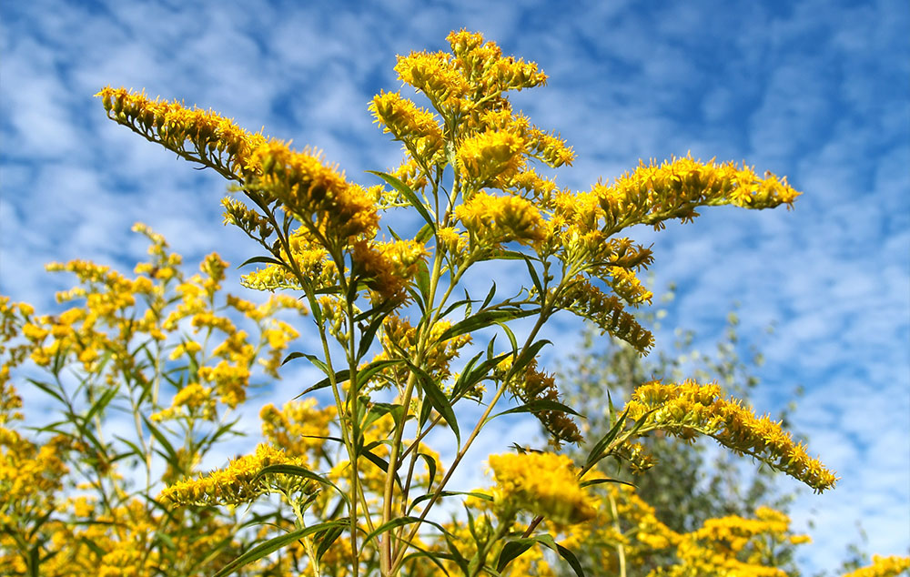 karcsúsító német gyógynövény karcsúsító tea xls fogyás mellékhatások