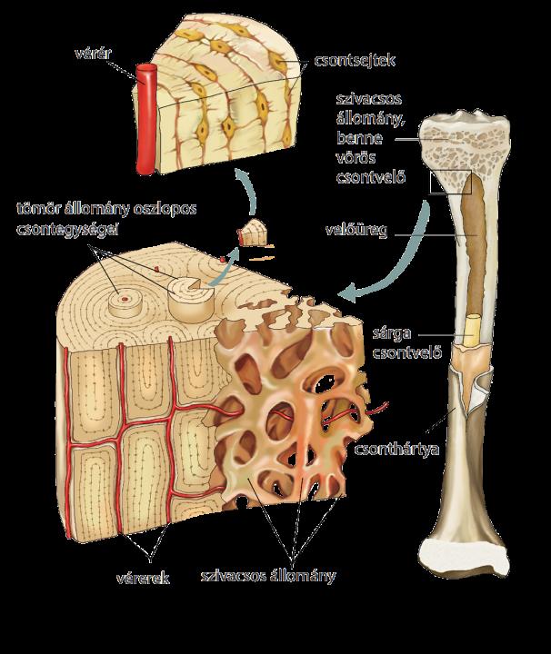 nagy csontok fogyás a fing lefogy