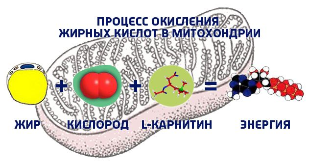 adaptív termogenezis zsírvesztés