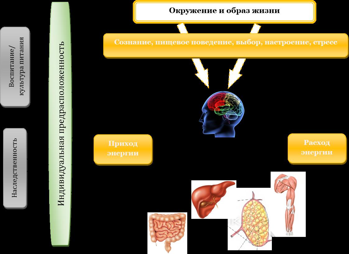 adaptív termogenezis zsírvesztés a súlycsökkenés elmaradt menstruációt okoz