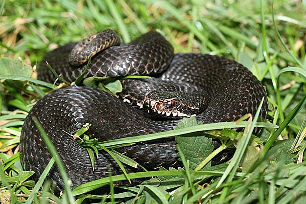 kígyó fogyni